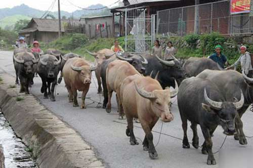 Biên phòng nghệ an tìm 9 con trâu thất lạc cho người Lào